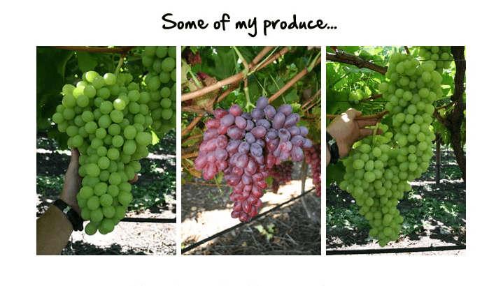 my-grape-vine